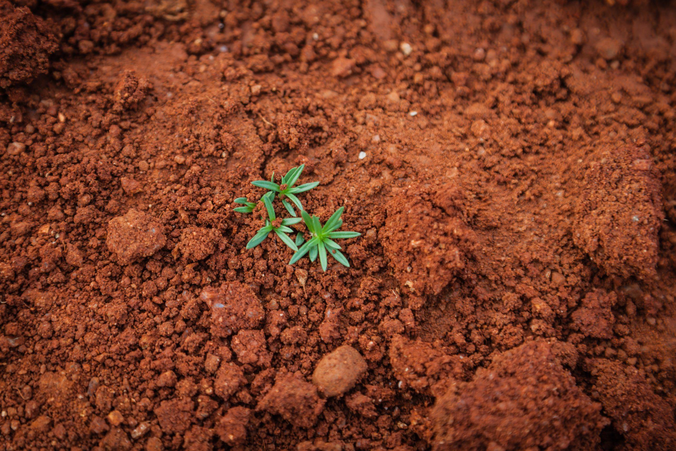 A seedling growing in reddish dirt