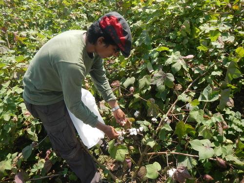 TCi Scholar Vinay Bhaskar looking at cotton plants