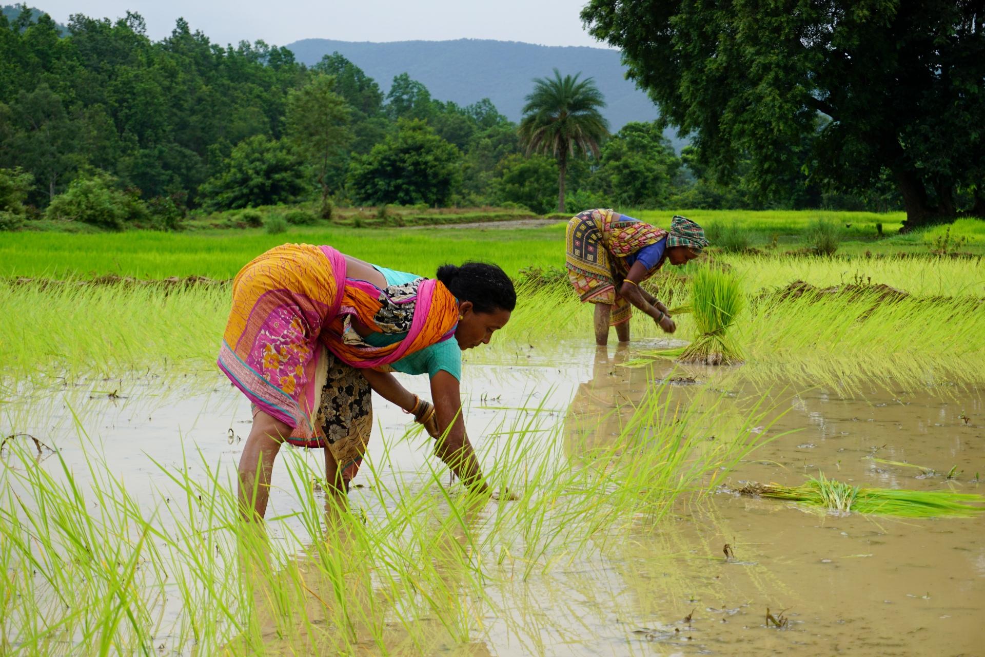 Women picking rice