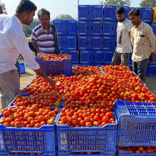 Men looking at crates of ripe tomatoes
