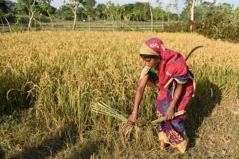 A woman harvesting paddy